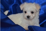 Picture of Ricky - Fun Male Maltese