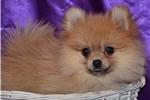 Picture of Meg - Spunky Female Pomeranian