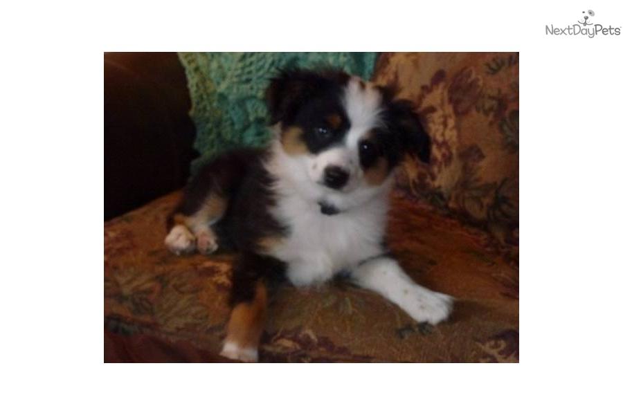 Miniature Australian Shepherd Dogs 101 | Dog Breeds Picture