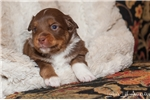 Picture of ~Champion Bred Red Tri Male 2 hazel eyes,