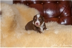 Picture of ~Champion Bred Toy Red Tri Female