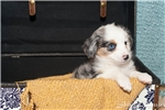Picture of Champion Bred Toy Flashy Blue Merle