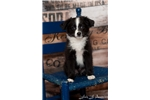 *Teacup Black Bi -Dudley*  | Puppy at 18 weeks of age for sale
