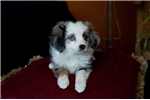 Picture of _Champion Sired Blue Merle Female