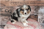 Picture of _Champion Bred Blue Merle Female