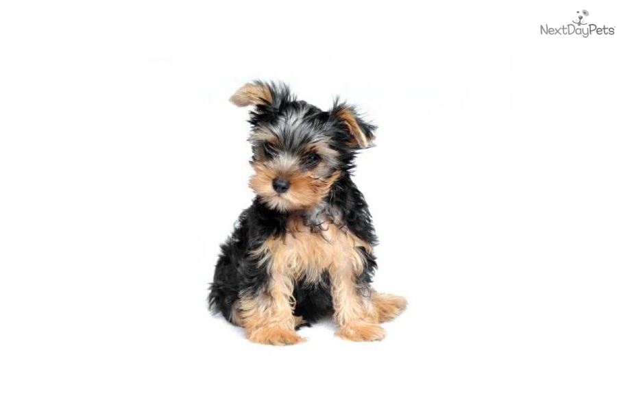 Yorkshire Terrier - Yorkie puppy for sale near New York ...