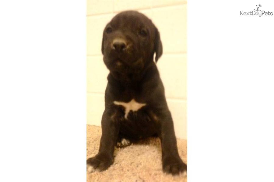 Meet Diesel a cute Cane Corso Mastiff puppy for sale for