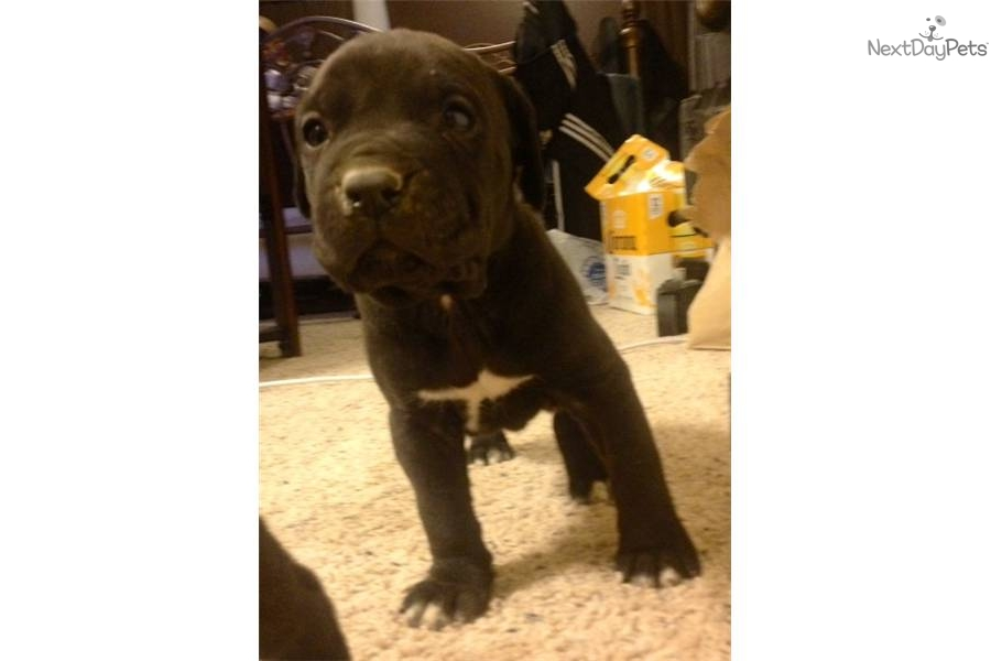 King | Cane Corso Puppy For Sale | Keystone Puppies in