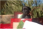 Black Female  puppy ready to go home Christmas | Puppy at 5 weeks of age for sale