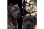 Blue Brindle Beauty | Puppy at 18 weeks of age for sale
