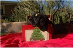 Picture of Black Female  puppy ready to go home Christmas