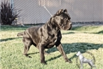 Picture of Black and Blue puppies due august