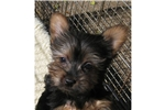 Featured Breeder of Silky Terriers with Puppies For Sale