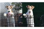 Wire Fox Terriers for sale