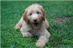 Picture of Beautiful apricot Moyen poodle puppy-health tested