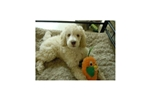 Featured Breeder of Double Doodles with Puppies For Sale