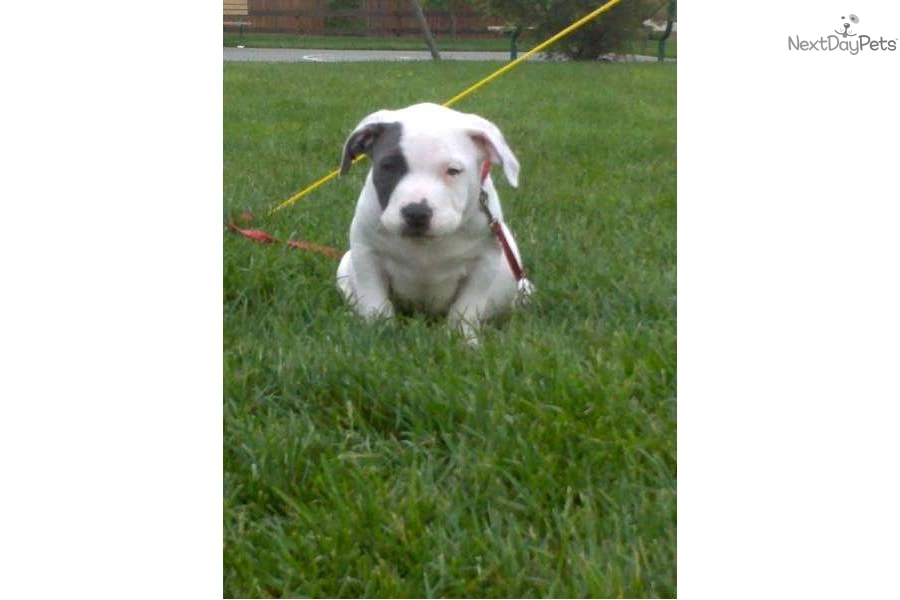 American Pit Bull Terrier for sale for $500, near Seattle-tacoma ...