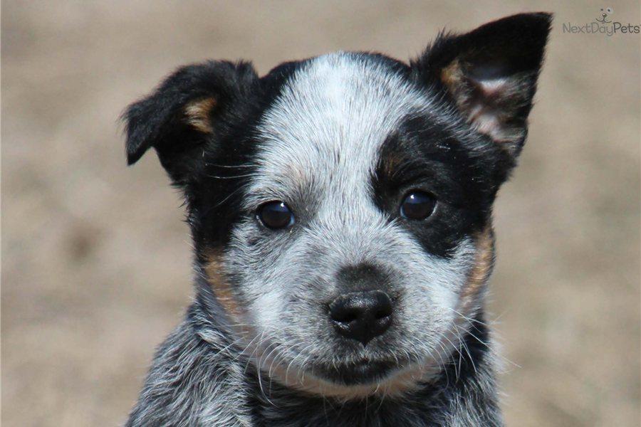 Australian Cattle Dog/Blue Heeler puppy for sale near Grand Rapids ...
