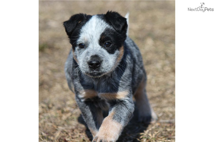 Pics Photos - Related Pictures Blue Heeler Hound