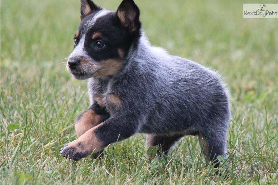 australian cattle dog blue heeler mix Car Tuning
