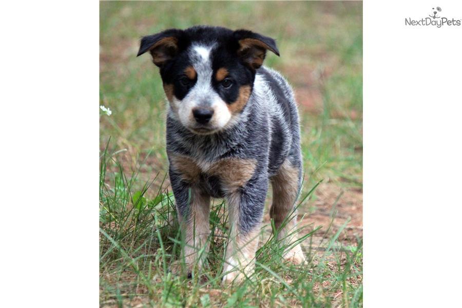 Australian cattle dog blue heeler puppy for sale near grand rapids