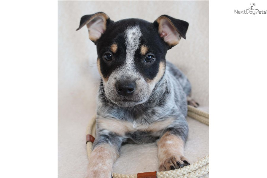 Australian Cattle Dog Puppies For Sale In Michigan