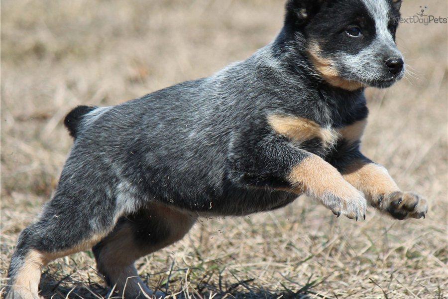 Free Blue Heeler Puppy