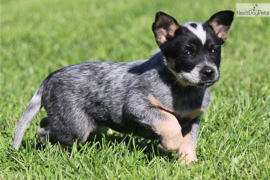 Australian Cattle Dog Blue Heeler Mix Mini Australian ...