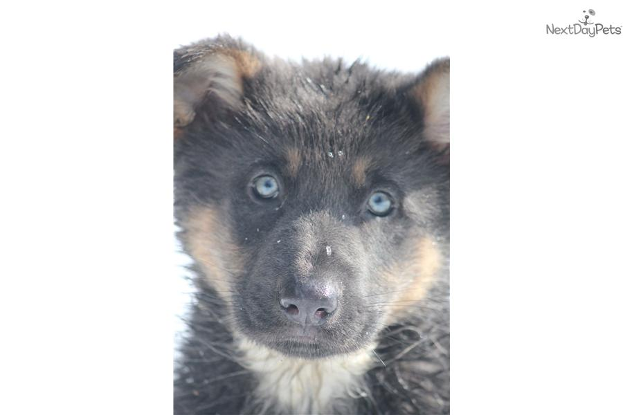 Silver | German Shepherd puppy for sale near Grand Rapids ...