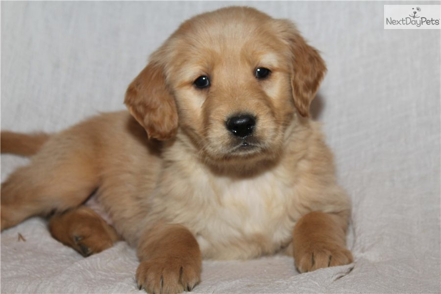Meet Lilly a cute Golden Retriever puppy for sale for $650. Lilly AKC