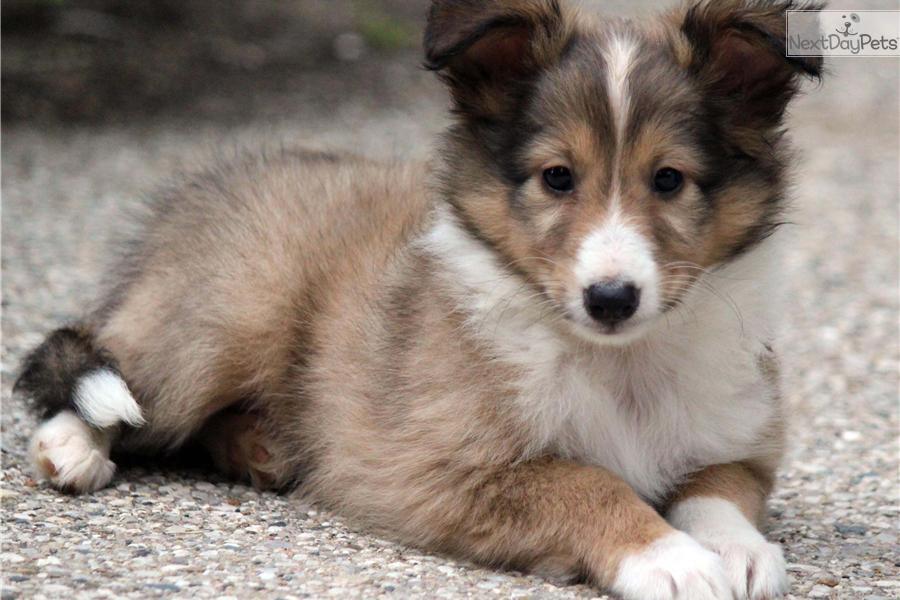 Shetland Sheepdog - Sheltie puppy for sale near Grand Rapids, Michigan ...