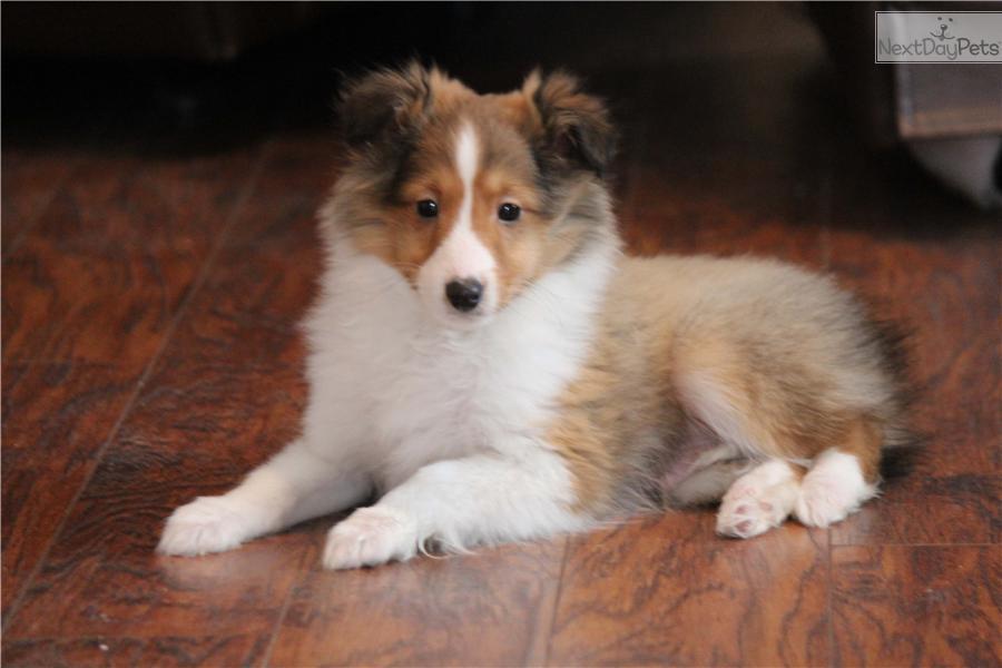 Sprucy AKC | Shetland Sheepdog - Sheltie puppy for sale near Grand ...