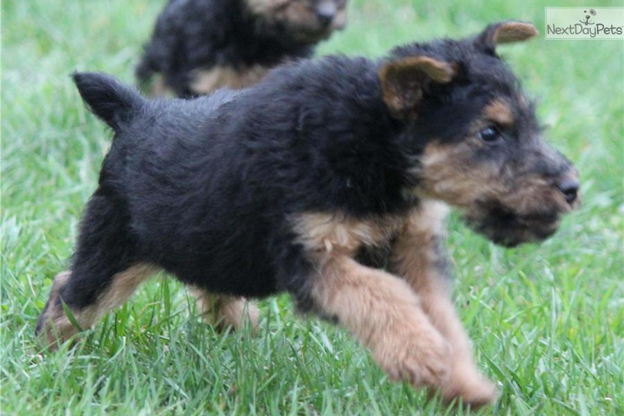 Price Of Welsh Terrier Scooby | Welsh Terrier...