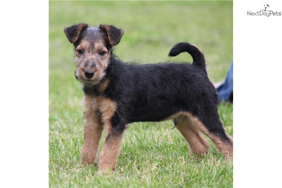 Price Of Welsh Terrier Welsh Terrier puppy fo...