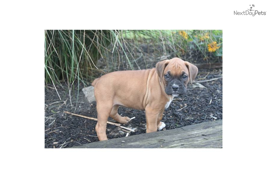 Boxer Dog For Sale York