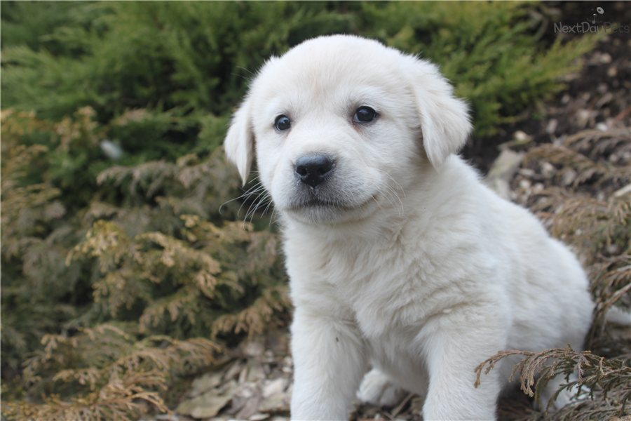 Great Pyrenees puppy for sale near York, Pennsylvania | aa26fb57-59a1
