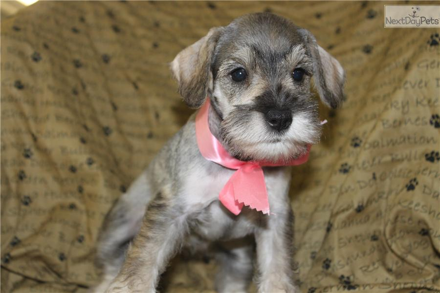 Related Pictures miniature schnauzers popular dogs breeds dog ...