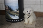 Picture of Bichon pups with health guarantee