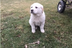 Great Pyrenees Mix Puppy With Health Guarantee | Puppy at 13 weeks of age for sale