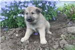 Picture of Elhound cross Litter With health Guarantee