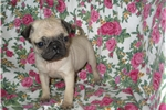 Picture of Pug puppy with health guarantee