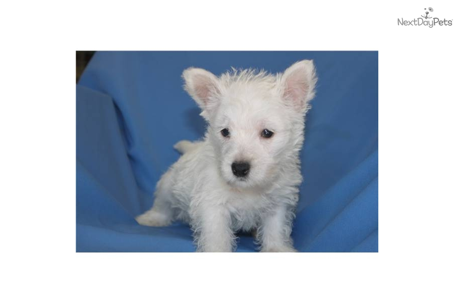 Westie Puppy For Sale Dogs Trust