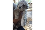 Picture of Female komondor puppy