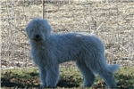 Picture of Female Komondor puppy for sale