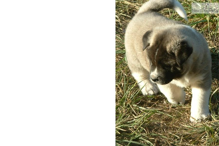 akita single men Bear is a 2-year-old male akita looking for a new home he would be best in a home with mostly females he tends to be a bit skittish around men he is.