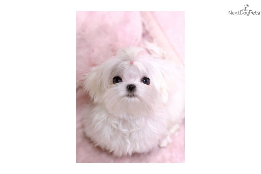 Picture Of A Puppy From Maltese Dog Breeders In Alberta ...
