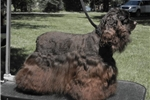 Picture of Daisy, akc registered