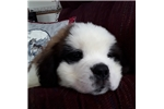 Picture of Irving--AKC registered St. Bernard puppy