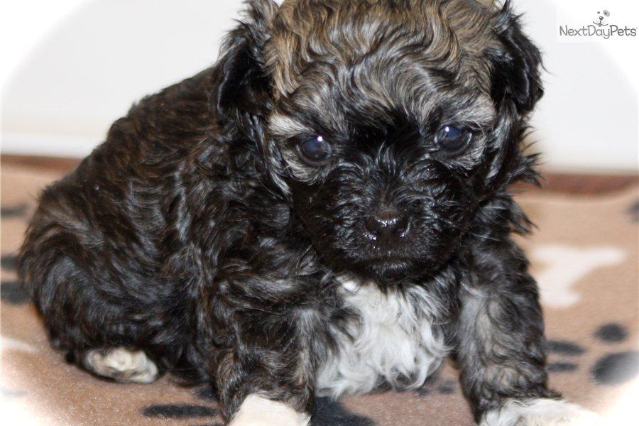 Russian Tsvetnaya Bolonka Puppy For Sale Near Atlanta