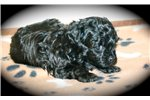 Picture of a Russian Tsvetnaya Bolonka Puppy